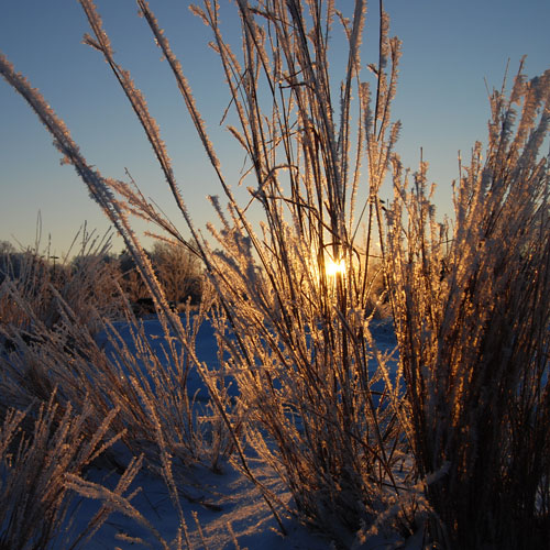Winter Little Bluestem