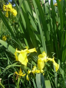 Invasive Yellow Flag Iris (Iris pseudacorus)