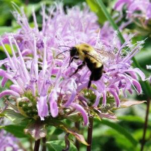 Wild Bergamot and pollinators
