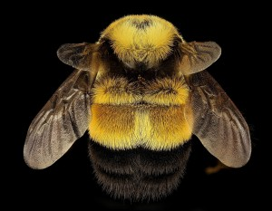 rusty-patched-bumble-bee-2182949_1920