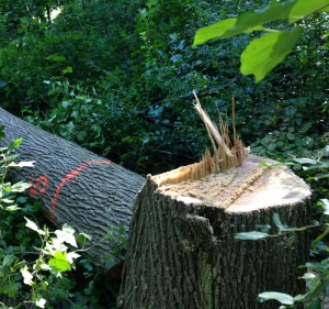 Removal of DED infested elm1