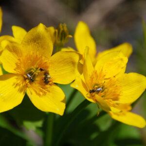 marsh marigold (2)