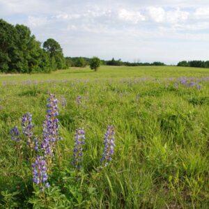 Restored Short Grass Prairie
