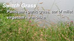 Switchgrass4